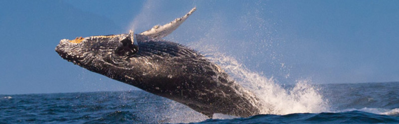 Don't Miss Whale Watching Season in Orange County